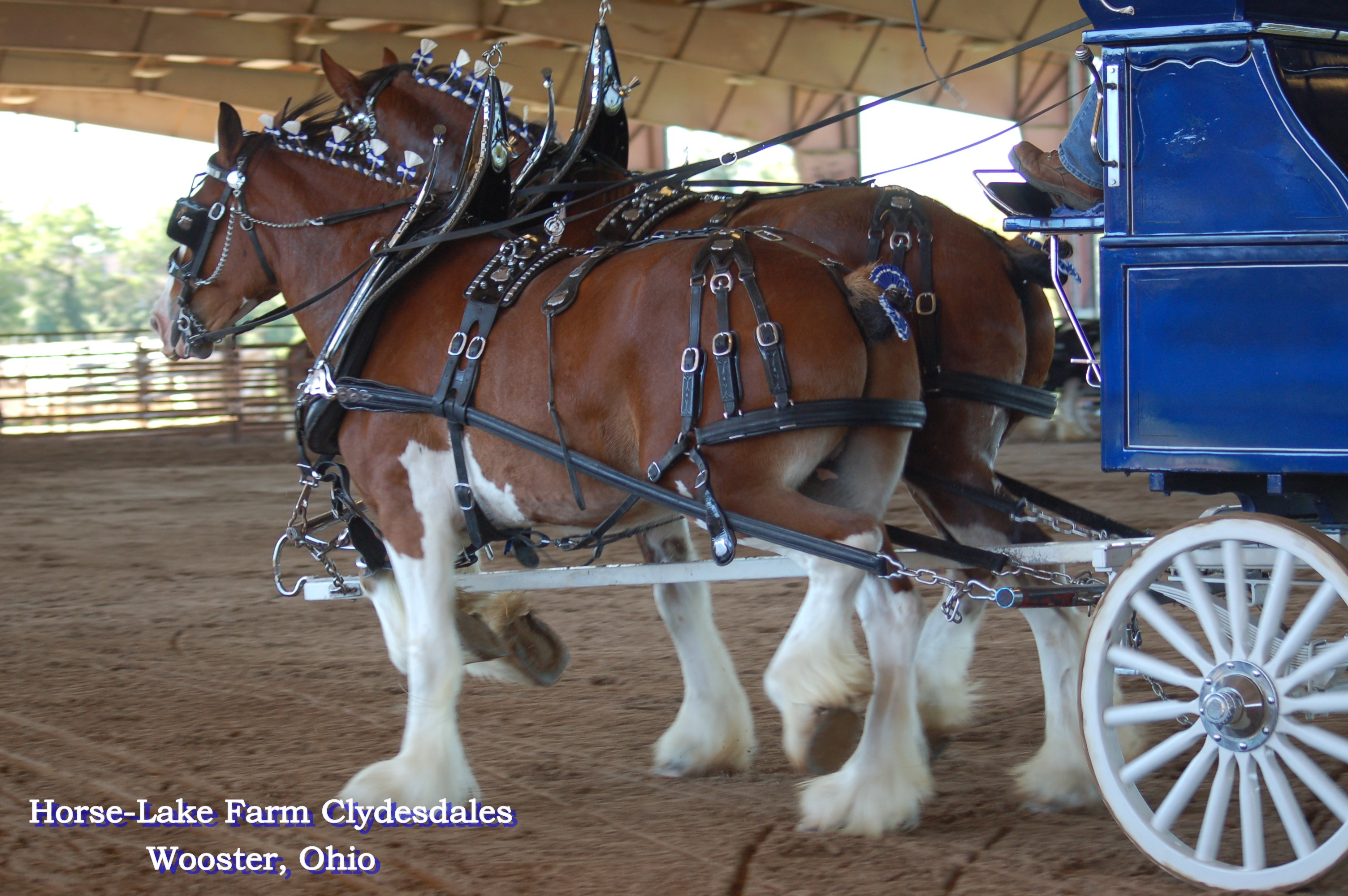 HLF Clydesdales